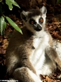 Ringtailed lemur in gallery forest (Berenty)