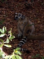 Baby ringtail lemur riding mother (Berenty)