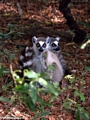 Pair of ringtail lemurs (Berenty)