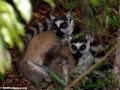 Pair of ring-tailed lemurs (Berenty)