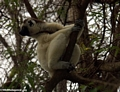 Sifaka lemur craning to get a better view (Berenty)