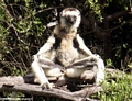 Mother sifaka sunning with baby on back (Berenty)