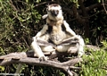 Mother sifaka sunbathing with baby on back (Berenty)