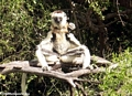 Mother sifaka sunning with baby lemur on back (Berenty)