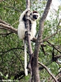 Verreaux's Sifaka in gallery forest (Berenty)