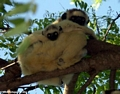 Verreaux's Sifaka with baby (Berenty)