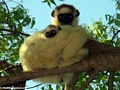 Verreaux sifaka with baby (Berenty)