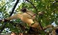 Verreaux sifaka iin tree (Berenty)