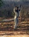 Jumping sifaka (Berenty)