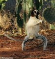 Sashaying sifaka lemur (Berenty)