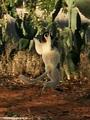 Leaping lemur (Berenty)