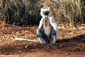 Sunning sifaka lemur (Berenty)