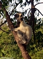 Verreaux's Sifaka (Propithecus verreauxi verreauxi) in tree (Berenty)