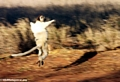 Leaping verreauxi lemur (Berenty)