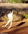 Leaping Propithecus verreauxi verreauxi lemur (Berenty)