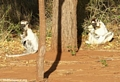 Sifaka lemurs on ground (Berenty)