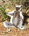 Sifaka lemur in meditation (Berenty)