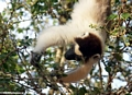 Sifaka hanging upside down while feeding on leaves (Berenty)