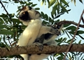 Sifaka in tree (Berenty)