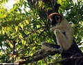 Sifaka lemur in 'The Thinker' position