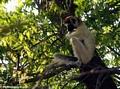 Sifaka lemur pondering life's questions (Berenty)