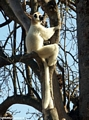 Sifaka hugging tree (Berenty)