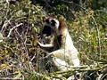 Verreaux's sifaka ifeeding on leaves (Berenty)