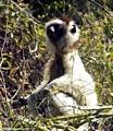 Meditating sifaka lemur (Berenty)
