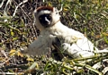 Startled sifaka (Berenty)
