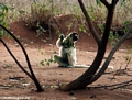 Sifaka feeding while sitting on the ground (Berenty)