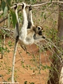 Sifaka lemur hanging out while feeding (Berenty)