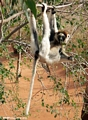 Sifaka just hanging out (Berenty)