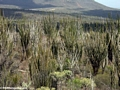 Spiny desert plants in southern Madagascar (Berenty)