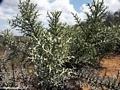Didiereaceae (Berenty)