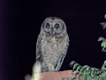 Ambositra owl  (Ambositra)