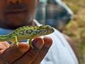 Anja chameleon (Ambalavao)