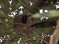 Bamboo Lemur Ranomafana (Ranomafana )