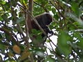 Ranomafana lemur  (Ranomafana )