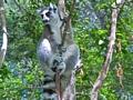 Ringtailed Lemur Anja  (Ambalavao)