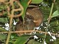 Woolly lemurs Ranomafana (Ranomafana )