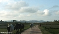Zebu cattle on Malagasy road (RN7)