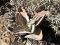 Aloe plant (Isalo)