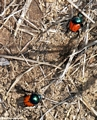 Dung beetles (Isalo)
