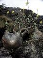 Elephant's foot plant (Isalo)