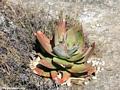 Aloe isaloensis (Isalo)