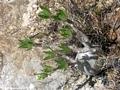Pachypodium rosulatum (Isalo)