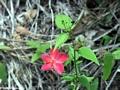 Magenta flower (Isalo)