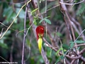 Red yellow flower (Isalo)
