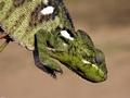 Bright green Jeweled chameleon near Isalo (Isalo)