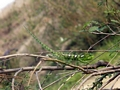 Bright green Furcifer lateralis chameleon (Isalo)